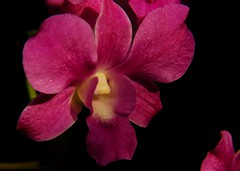 In Happy Dreams Your smile makes day of night... (-Reji) Tags: flowers light sun orchid flower home smile garden happy petals nikon day shine orchids sleep live dream petal your dreams waking blush beneath sweeter april13 d90 orchidflower sunniest