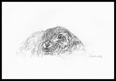 Shy Brown Hare Sketch (AnnsWildlifeArt) Tags: wild mer rabbit bunny art nature animal animals pencil sketch hare artist forsale drawing wildlife shy british anima mammals britishwildlife hares sket wildlifeart brownhare commonhare merciapictures