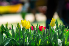 Tulip (toituclatui) Tags: sony 85mm ae nex nex6 contaxcarlzeisstplanar1485