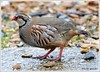 Red-legged Partridge (flickr quickr) Tags: partridges redleggedpartridge alectorisrufa gamebirds {vision}:{sky}=0518 {vision}:{outdoor}=0815