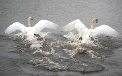 Swans (Jadey Davison) Tags: white lake bird nature water animals swan wings feathers elegant flapping richmondpark