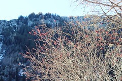 Winter Blossom (lilacandhoney) Tags: christmas family winter mountain france mountains montagne french december hiver feeling moment nol chamonix franais montagnes