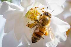 Worker Bee (dhc_photos) Tags: spring blossom bee honey