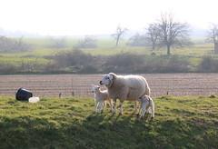 sheep family (Kristel Van Loock) Tags: animals sheep belgium belgique belgi animaux belgica animali moutons flanders schapen belgien belgio vlaanderen schaapjes bierbeek pecora flandre vlaamsbrabant hageland fiandre