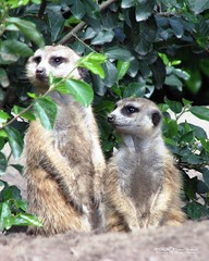 "MERKAT 145 (Dancing with Ghosts Graphics) Tags: copyright cute animal mammal meerkat pups graphics small gang mob clan mongoose angola sentry suricate copyrighted burrows suricatta dwg desert"" merkats diurnal 2013 fawncolored herpestid iteroparous ""kalahari ""namib debbrawalker feliform dancingwghosts ""suricata suricatta"" dwggraphics ""botswana"" oraging siricata"" majoriae"" iona"""