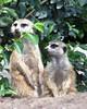 "MERKAT 145 (Dancing with Ghosts Graphics) Tags: copyright cute animal mammal meerkat pups graphics small gang mob clan mongoose angola sentry suricate copyrighted burrows suricatta dwg desert"" merkats diurnal 2013 fawncolored herpestid iteroparous ""kalahari ""namib debbrawalker feliform dancingwghosts ""suricata suricatta"" dwggraphics ""botswana"" oraging siricata"" majoriae"" iona"""