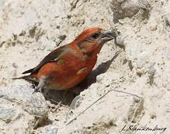 Red Crossbill (M) (J.Blankenburg) Tags: canada bird sandstone colorful eating okanagan redcrossbill
