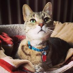 #thegeriats My Geriatric Cats (kisluvkis) Tags: cats cat bestof paco housie browntabby wywo housies chachie instagram ifttt bestof2014 geriats thegeriats pacoslastyear