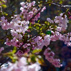 Цветущая сакура  #sakura #saintpetersburg #nature #pink #nofilter #beatyful #flowers #asia #japan