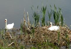 Zwanennest (ditmaliepaard) Tags: swans zwanen opdefiets omgevingheusden zwanennest