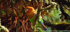 Near endemic, Rusty-faced Parrot, Hapalopsittaca amazonina, Colibrí del Sol Bird Reserve (OSWALDO CORTES -Bogota Birding and Birdwatching Co) Tags: fauna colombia sib biodiversidad nearendemic rustyfacedparrot hapalopsittacaamazonina colibrídelsolbirdreserve