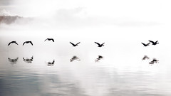 A Gaggle Out of the Fog (Darrell Wyatt) Tags: reflection birds fog geese flight columbia