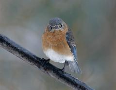 Eastern Bluebird 53 (Sialia sialis) (egdc211) Tags: bird nature birdwatcher easternbluebird sialiasialis backyardbirding naturewatcher connecticutbird newenglandbird