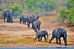 Out of the woods to the river... - Botswana (stevelamb007) Tags: africa wild river woods nikon wildlife perspective elephants botswana dust herd chobe kasane ellies d90 africanwildlife chobenationalpark caprivistrip stevelamb