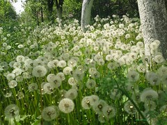 papadii (coritorsin) Tags: birds spring song breath wish umbrellas desires dandelions umbrela puf primavara pasari papadii cantec dorinte rasuflare