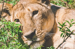 savannah princess (Cyber Monkey) Tags: life africa park wild nature beauty animal female tanzania bush lion safari national savannah serengeti