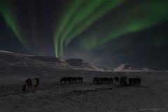 Horses of Skagafjrur (Frijfur M.) Tags: winter sky horses snow mountains ice stars iceland sland northernlights skagafjrur nordlicht norurljs canonef24mmf28 norvesturland canon5dmarkii frijfurm