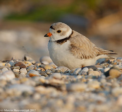 Resting on the beach (v4vodka) Tags: nature animal wildlife chick birdwatching plover pipingplover shorebird charadriusmelodus pipingploverchick birdbirding sieweczkablada