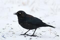Rusty Blackbird (_BirdsTheWord_) Tags: snow bird rusty blackbird 70d canonef40056l