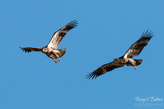 Juvenile Bald Eagles Play in the Sky Sequence - 8 of 10