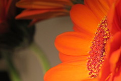 Gerbera macro (Esther5h) Tags: red orange flower macro canon petal hart blaadjes rood oranje bloem canonpowershotg12