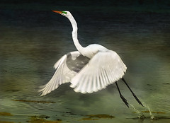 Great Egret (Ardea alba) (dbullens) Tags: usa nature birds google wildlife ngc places bing greategret floridakeys tavernier ardeaalba birdsflorida donbullens tavernierislamorada