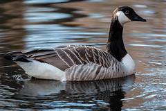 Kanadanhanhi / Canada Goose (Tuomo Lindfors) Tags: bird water suomi finland helsinki clarity dxo canadagoose vesi lintu seurasaari kanadanhanhi topazlabs filmpack