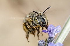 Hairy Footed Bee V (Dalantech) Tags: macro nature insect lavender bee topaz macrophotography topazlabs hairyfootedbee