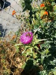 MILK thistle & HONEY bee (Jay Rosenberg) Tags: sanfrancisco art ecology design hayesvalley permaculture urbanpermaculture hayesvalleysf permaculturesf hayesvalleyartworks hayesvallleyartworks 456laguna