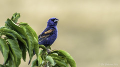 Blue Grosbeak (m)  [Explored] (Bob Gunderson) Tags: birds bluegrosbeak california delpuertocanyonroad eastbay grosbeaks northerncalifornia passerinacaerulea stanislauscounty explore