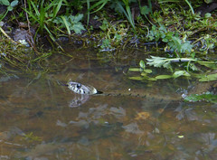 Having a Swim (Essex Explorer) Tags: essex grasssnake natrixnatrix littleburstead p1060785 laindoncommon thewellpond