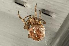 Unidentified Spider (Araneae) DDZ_3631 (NDomer73) Tags: macro yard spider arachnid april 2016 16april2016 bugzonstuff