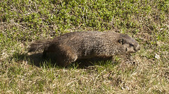 groundhog (cwohlers) Tags: vermont wildlife woodchuck groundhog vt woodbury