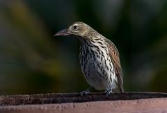 olive-backed oriole (Oriolus sagittatus)-9707 (rawshorty) Tags: birds australia canberra act symonston rawshorty