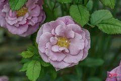 Rose (SPP- Photography) Tags: morning flowers roses como flower nature rose canon morninglight petals purple blossom blossoms 100mm blooms rosebush blooming 6d flowersplants globeamaranth macro100mm marjoriemcneelyconservatory canon6d
