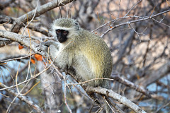 Little Monkey (lara_etta) Tags: africa park tree nature animal landscape southafrica monkey beige little sweet natura dolce animale rami kruger piccola sudafrica scimmia scimmietta simmia