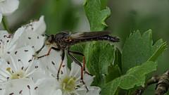 Raubfliege auf weien Blten / Robber fly (Oerliuschi) Tags: fly panasonic robberfly fliegen raubfliege macroaufnahme lumixgx8