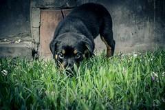 Dangerous puppy (caBzPeru) Tags: park parque dog naturaleza peru nature animal yard lima little jardin rottweiler perro cielo cachorro doggy thor pe rottie doglover sansunggalaxy animalesperu