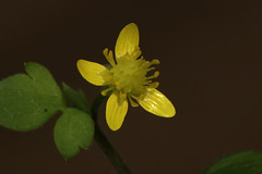 Ranunculus ternatus var. lutchuensis   (ashitaka-f) Tags: flower yellow japan ranunculus ternatus lutchuensis   cr ranunculaceae