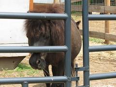 Newborn Baby Donkey (Ceorl) Tags: farm massachusetts donkey georgetown babyanimal mammothdonkey wheelerbrookfarm