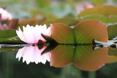 wild flowers B_001 (cees van gastel) Tags: ceesvangastel canoneos550d tamron70300mm natuur nature oosterheide waterlelie waterlily flowers plants bloemen planten water