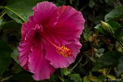 _DSC0936 (Roy Prasad) Tags: flower nature floral garden sony magenta kerala hibiscus bloom botany prasad munnar rx10 royprasad rx10m2