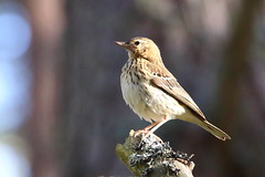 Tree Pipit (Anthus trivialis) (sdflickr2) Tags: tree forest scotland pipit abernethy lochmallachie