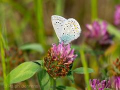 Common Blue / Hauhechel-Bluling (Polyommatus icarus) (ralph_behrens) Tags: butterfly olympus omd schmetterling klee oly commonblue polyommatusicarus niedersachsen hauhechelbluling tagfalter weseraue omdem1 olympusomdem1 300mmf4pro