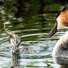 Great Crested Grebe feeds chick with fish (aktuaroslo) Tags: oslo 1 nikon v3 greatcrestedgrebe østensjøvannet toppdykker skäggdopping nikon1v3