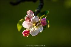apple tree (pajus79) Tags: flower colour tree apple leaves nikon branch blossom bokeh background bloom 10528 d80