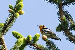 Blackburnian Warbler (J.B. Churchill) Tags: blbw birds blackburnianwarbler garrett maryland newgermanysp places taxonomy warblers grantsville unitedstates us