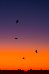 Crows heading to work in the morning (iaakisa) Tags: usa bird animal sunrise crow cascaderange frommybalcony