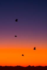 Crows heading to work in the morning (iaakisa) Tags: usa bird animal sunrise crow cascaderange frommybalcony
