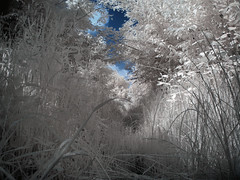 Grassy path in infrared (iansimpson17) Tags: grass ir woods path infrared 630nm canong9